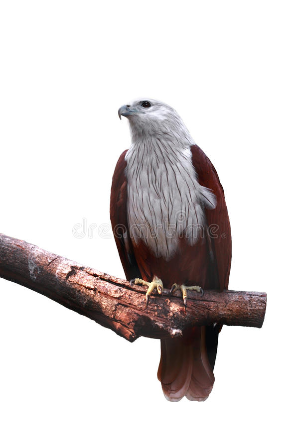 Brahminy kite. Is holding branch isolated on white stock photo