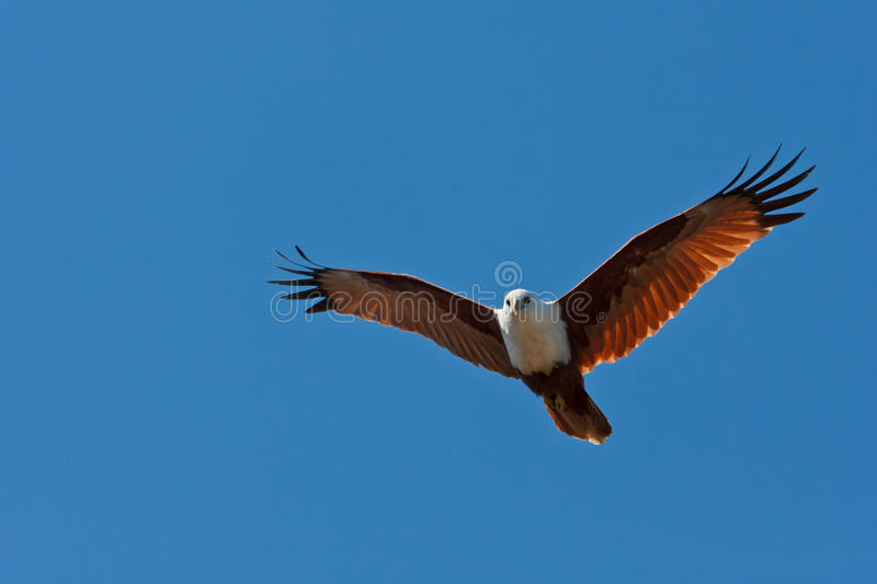 Brahminy Kite. A Brahminy kite, formerly known as the Red-backed Sea-eagle, mostly a scavenger but also swoops in to catch fish and crabs royalty free stock image