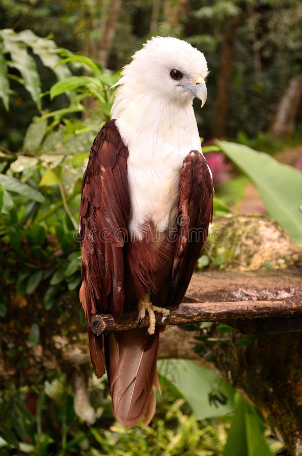 Brahminy Kite. At the Philippine Eagle Center in Davao City stock photos