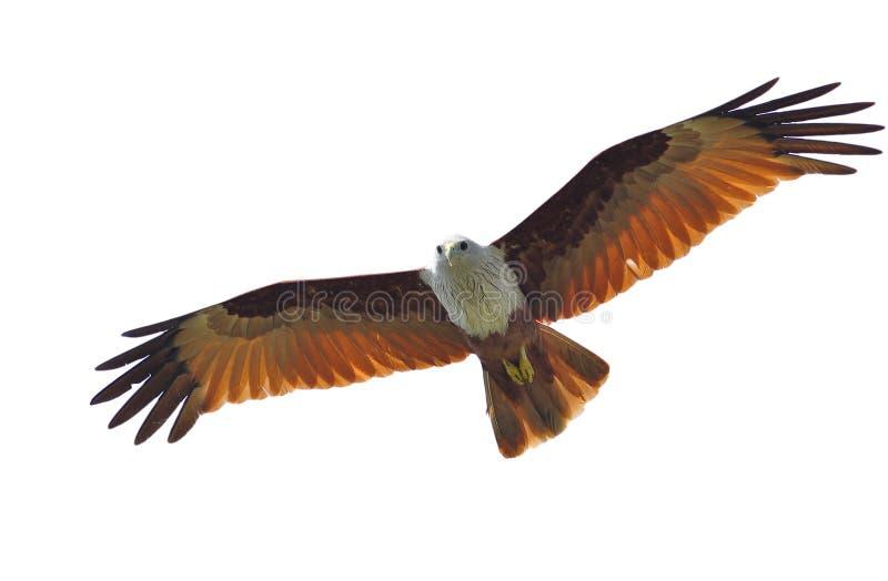 Brahminy Kite. Bird (Brahminy Kite) isolated on white background royalty free stock image