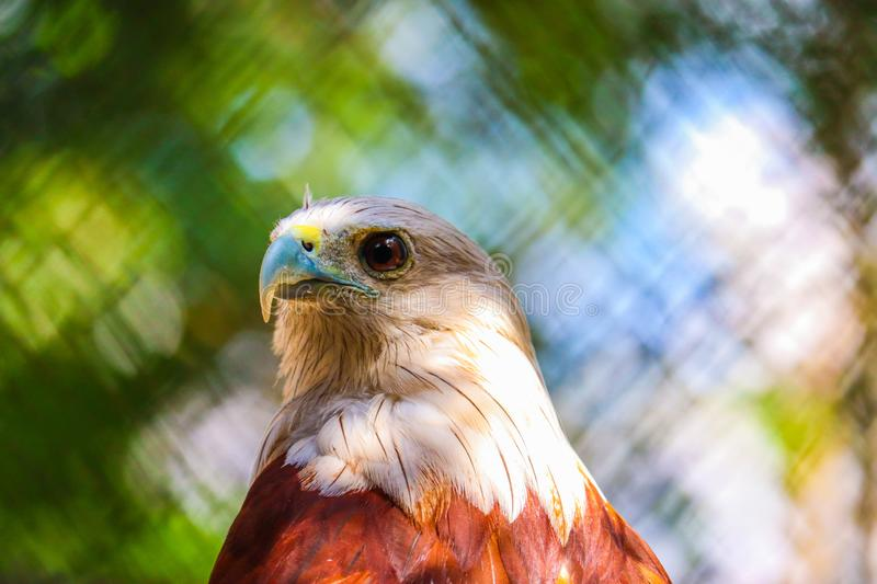 Brahminy Kite. In the forest royalty free stock photos