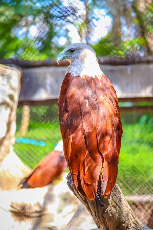 Brahminy Kite. In the forest royalty free stock images