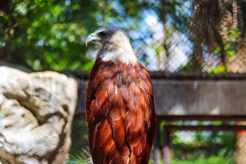 Brahminy Kite. In the forest stock images