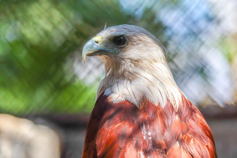 Brahminy Kite. In the forest royalty free stock photography