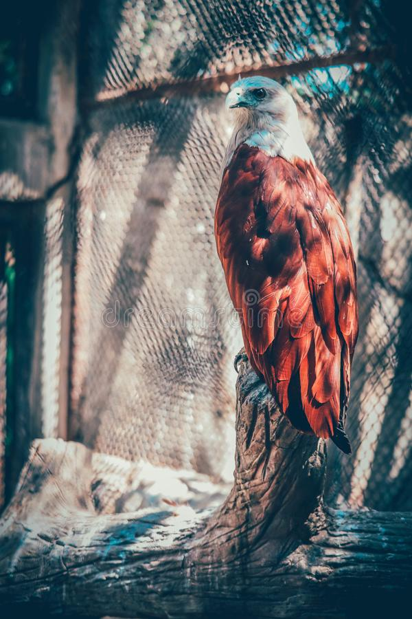Brahminy Kite. In the forest stock photography