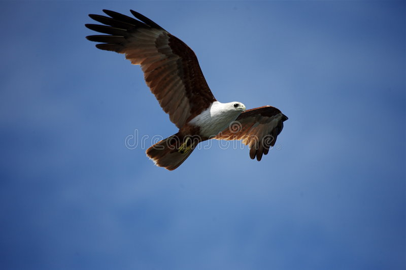 Brahminy Kite in Flight. A Brahminy Kite soaring over the Mangroves of Langkawi Island, Malaysia stock photography