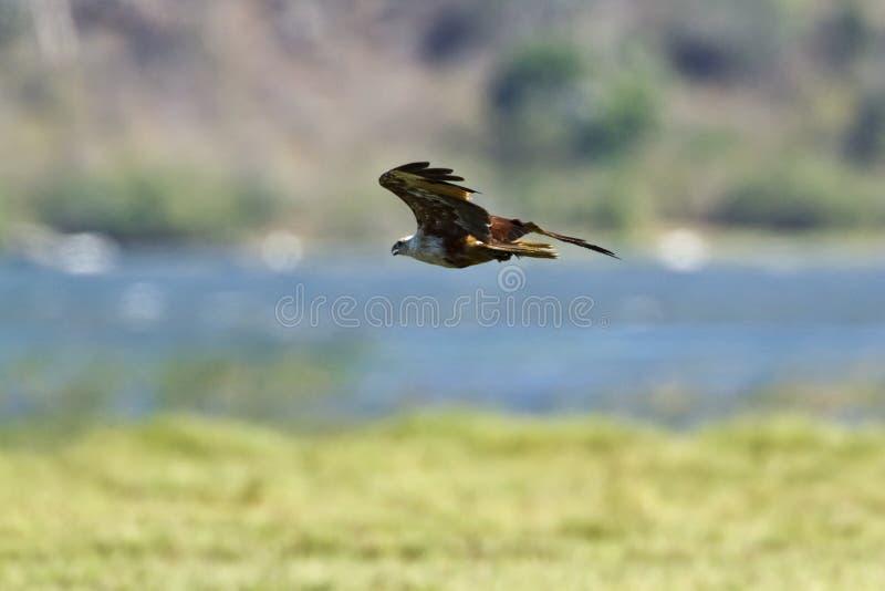 Brahminy kite in flight in Pottuvil, Sri Lanka. Haliastur indus, Brahminy kite in flight in Pottuvil, Sri Lanka stock photography