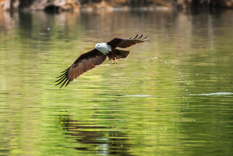 Brahminy kite flying over the water. At high speed royalty free stock photos