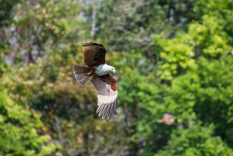 Brahminy kite flying over the water. At high speed royalty free stock images