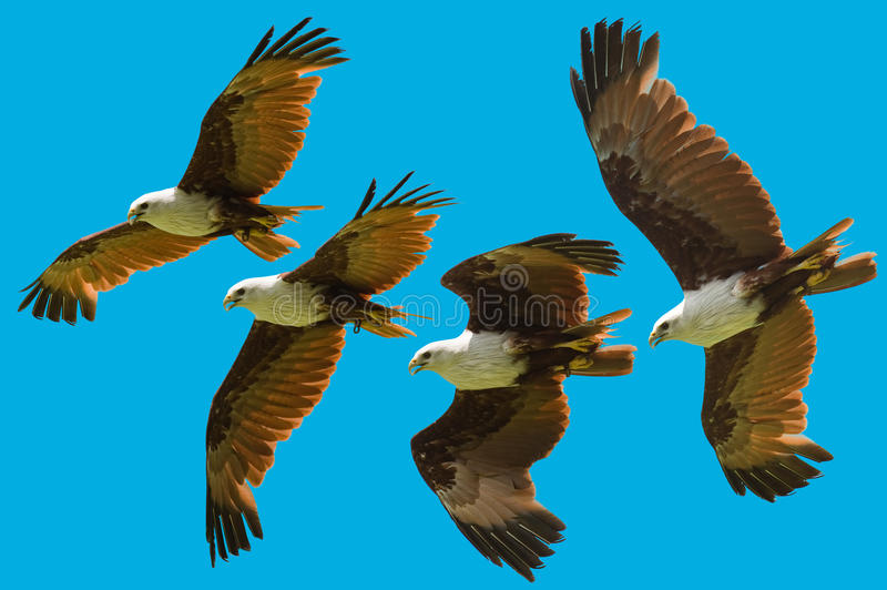 Brahminy kite flying sequence. Photo of brahminy kite flying in sequence isolated stock photography