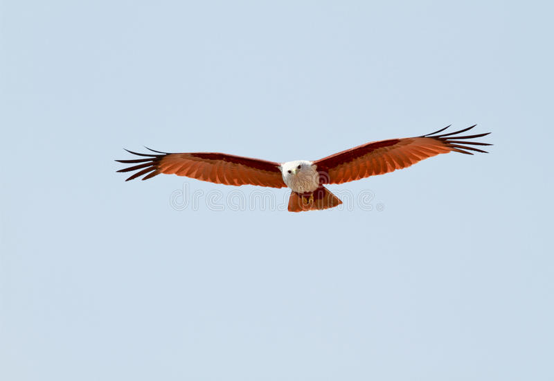 Brahminy kite front view royalty free stock photography