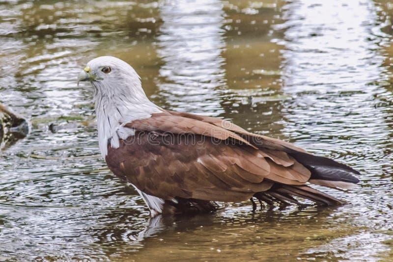 Brahminy Kite. ( Haliastur Indus) Karnataka stock photo