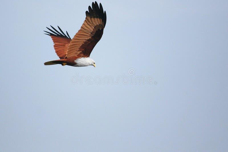 Brahminy Kite on the hunt