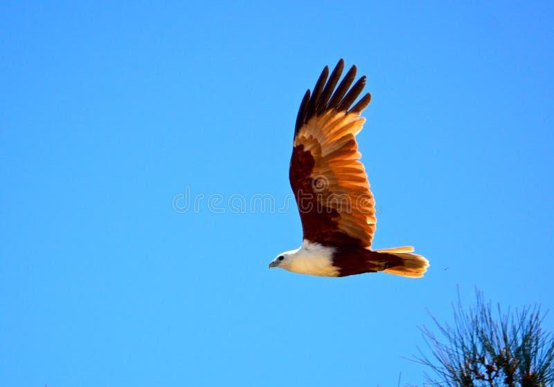 Brahminy Kite. Off Fraser Island, Queensland, Australia stock photography