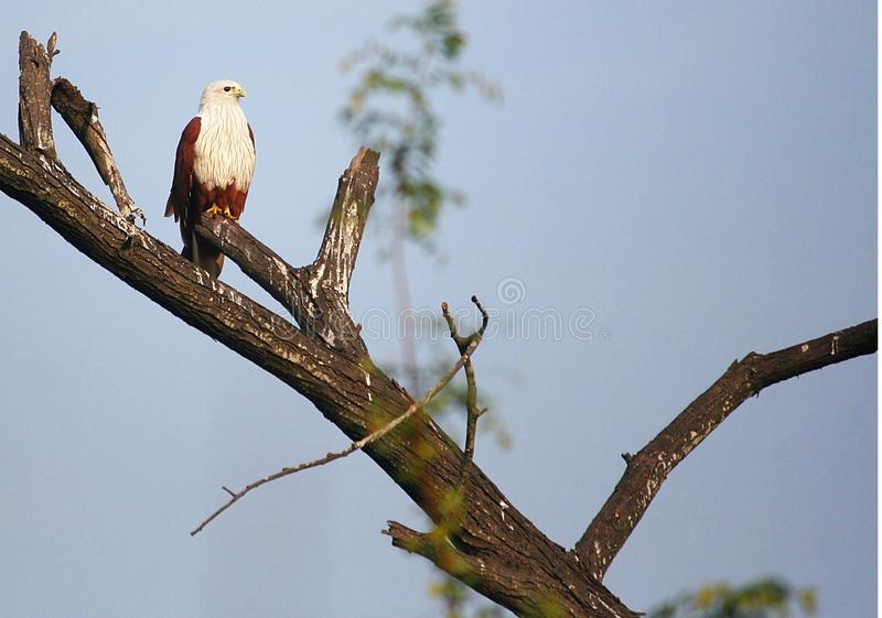 Brahminy kite perching. Brahminy Kite (Haliastur indus) perching on branch of dead tree. Looking at the branch it is pretty clear that it is a favorite perching royalty free stock photos
