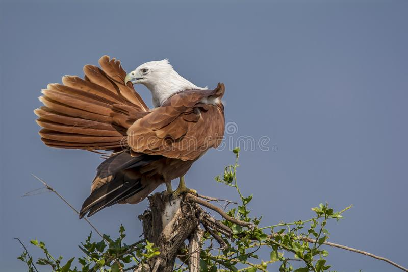 Brahminy Kite Preening - Haliastur Indus. The brahminy kite, also known as the red-backed sea-eagle in Australia, is a medium-sized bird of prey in the family royalty free stock photo