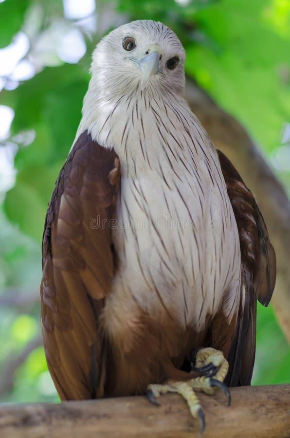 Brahminy Kite. (Red-backed Sea Eagle stock photo