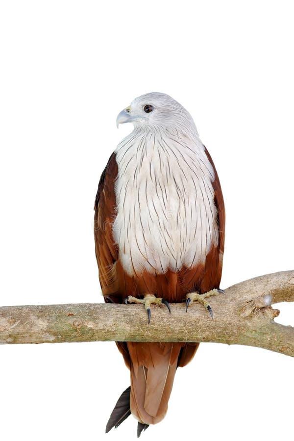 Brahminy Kite Red backed sea eagle Haliastur indus. Bird at thailand royalty free stock images