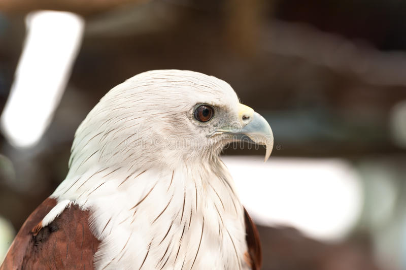 Brahminy Kite Red backed sea eagle Haliastur indus Headshot royalty free stock images
