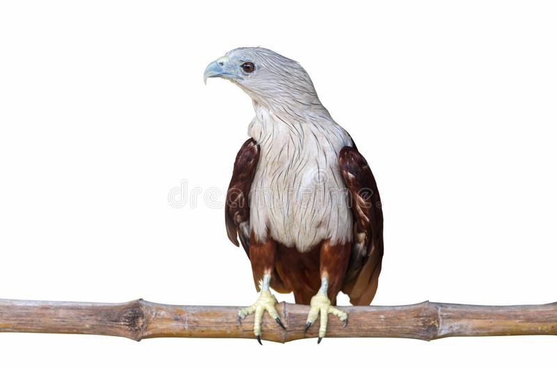 Brahminy kite, Red-backed sea-eagle royalty free stock image