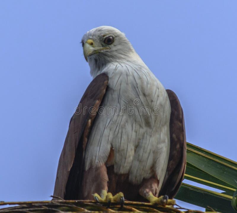 Brahminy Kite. Rest of tree coconut tree( Haliastur Indus) Karnataka royalty free stock photography