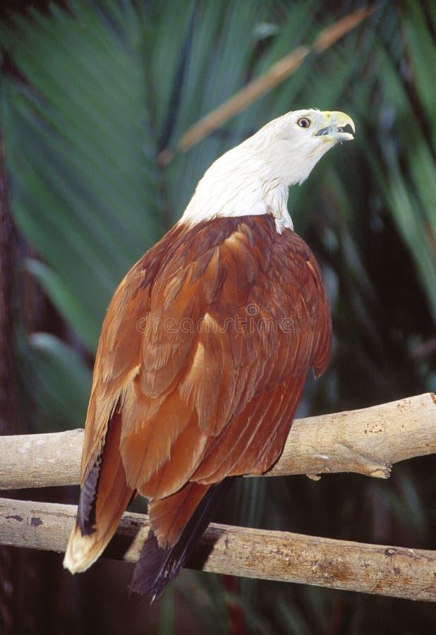 Brahminy Kite. Is a Wildlife Animal stock images