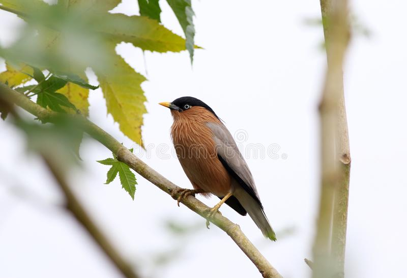 Brahminy starling. The brahminy myna or brahminy starling is a member of the starling family of birds. It is usually seen in pairs or small flocks in open stock photos