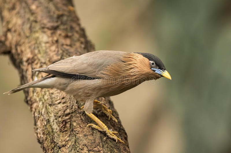 The brahminy myna or brahminy starling. (Sturnia pagodarum) is a resident breeder in Nepal and India, a winter visitor to Sri Lanka and a summer visitor in royalty free stock photography