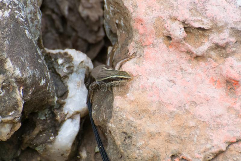 Brahminy Skink. Mabuya carinata peeping out through the rocks in the forest royalty free stock photography