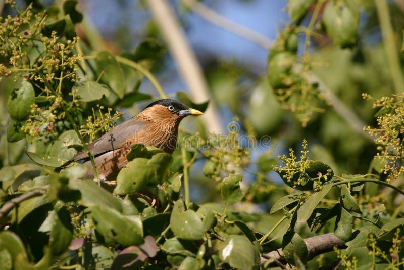 Brahminy starling. (Sturnus pagodarum), Keoladeo Ghana National Park, Bharatpur, Rajasthan, India stock image