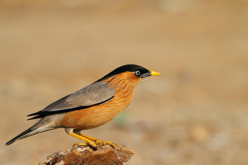 Brahminy Starling. Birds in Thailand royalty free stock photography