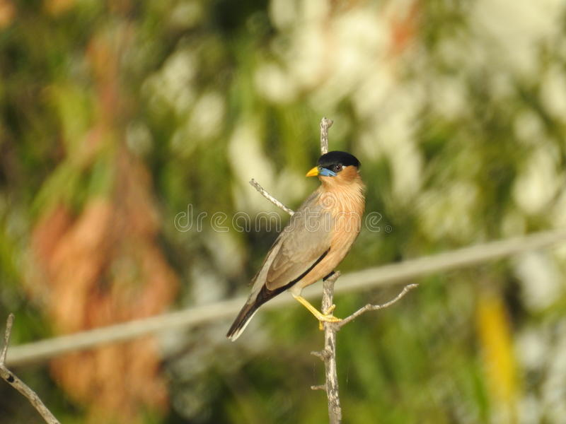 Brahminy starling photos stock