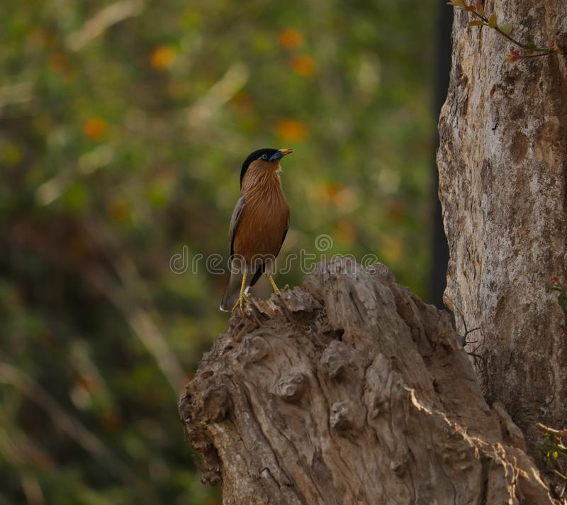 Brahminy starling bird on the branch. Brahminy myna or brahminy starling, bird from India. Myna sitting on the branch of tree, clear background. Birdwatching royalty free stock images