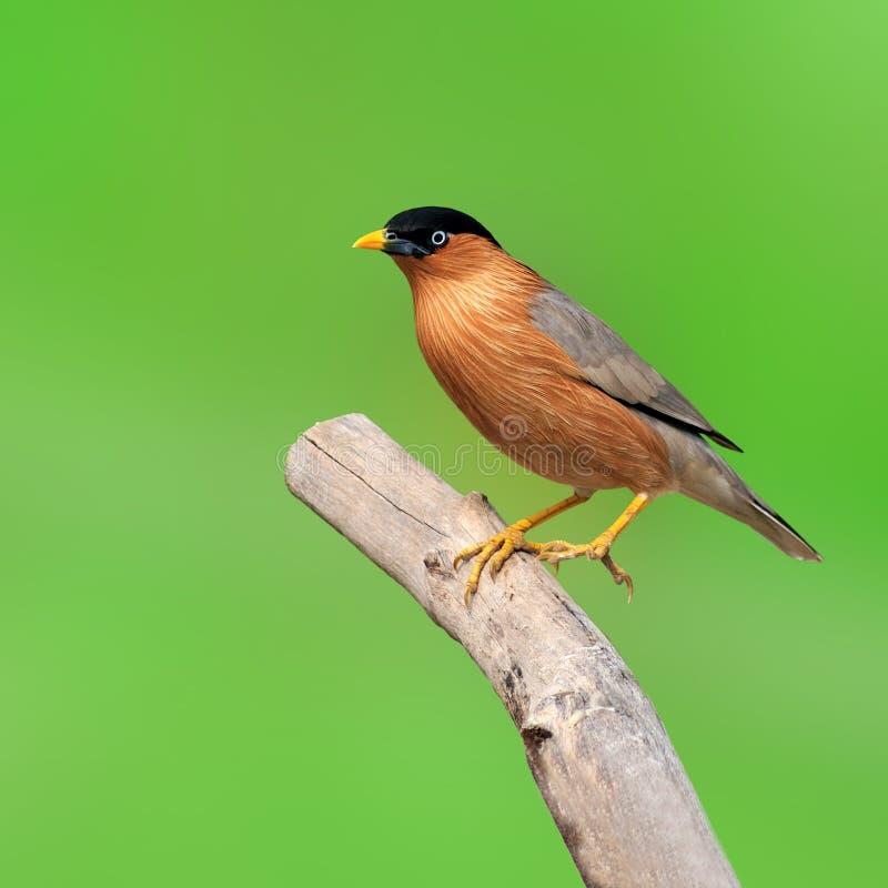 Brahminy Starling bird. On green background royalty free stock photo