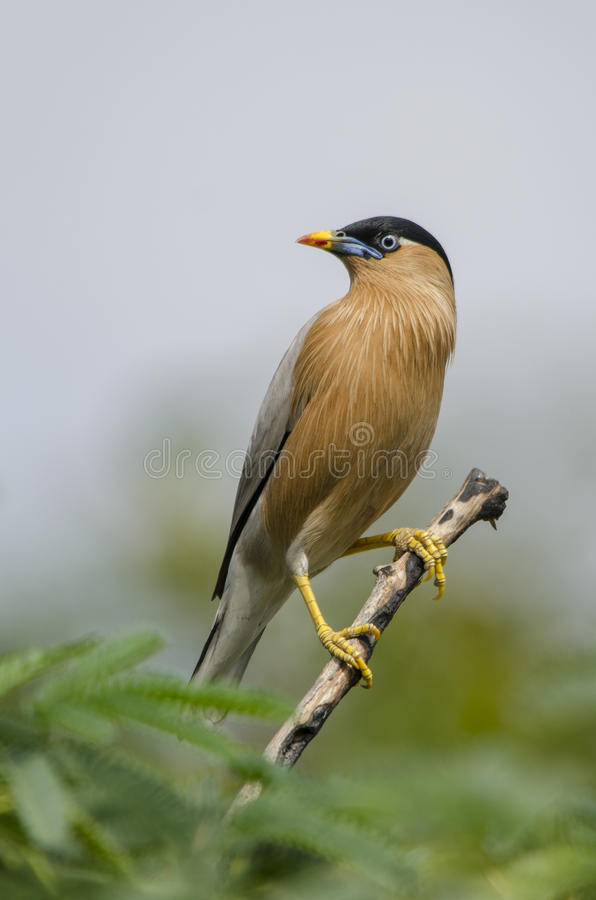 Brahminy starling - bird. The brahminy myna or brahminy starling is a member of the starling family of birds. It is usually seen in pairs or small flocks in open royalty free stock images