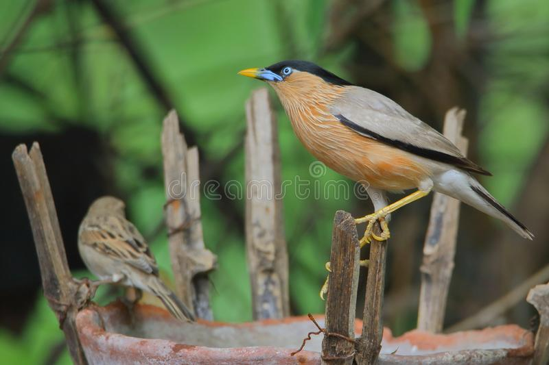 Brahminy starling bird. Standing on the bamboo royalty free stock photo