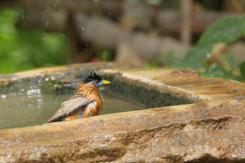 Brahminy, Starling bird. Brahminy starling bird takes bath in water tank in the forest stock photos