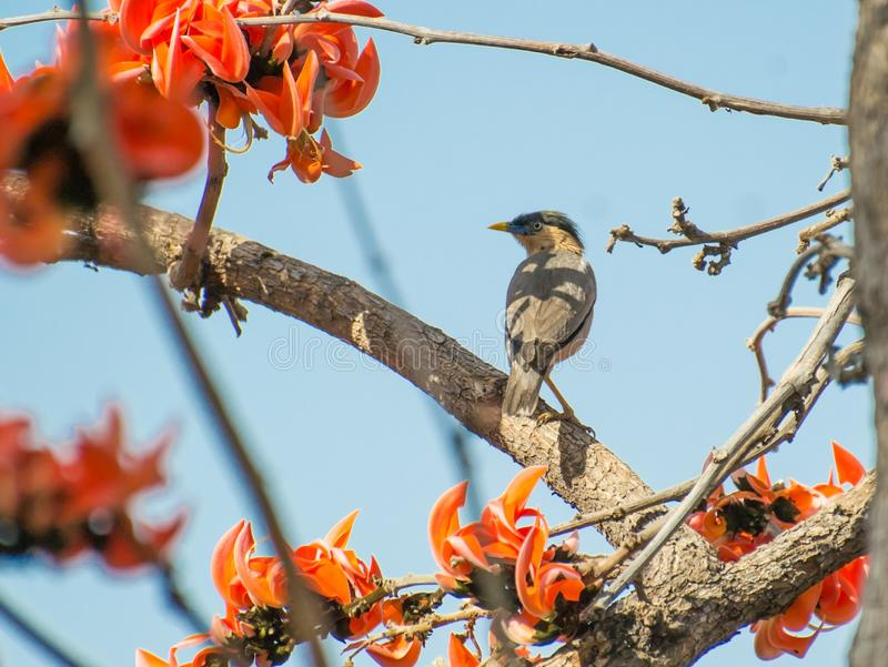 Brahminy Starling or Brahminy Myna. Sturnia pagodarum perching on the branch of Flame of the Forest Palash Tesu Butea monosperma free. Its orange red flowers royalty free stock photos