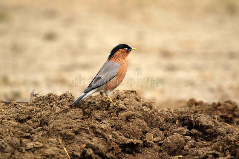 Brahminy starling. The brahminy myna or brahminy starling is a member of the starling family of birds. It is usually seen in pairs or small flocks in open royalty free stock image
