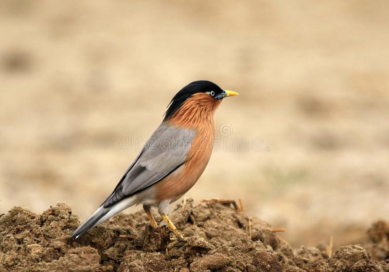 Brahminy starling. The brahminy myna or brahminy starling is a member of the starling family of birds. It is usually seen in pairs or small flocks in open royalty free stock images