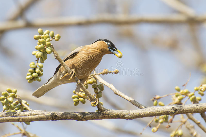 Brahminy Starling. Feeding on Forest Tree Seeds royalty free stock photos