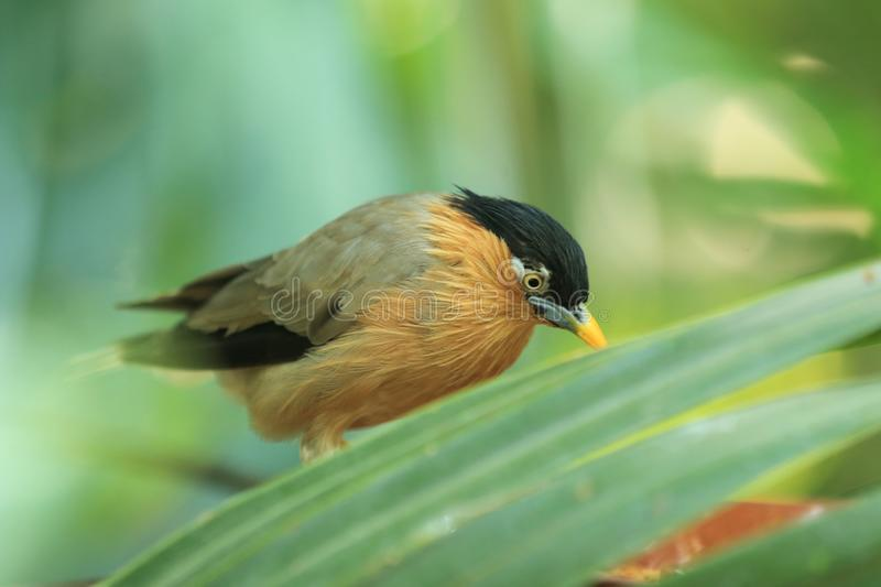 Brahminy starling. On the leaf royalty free stock image