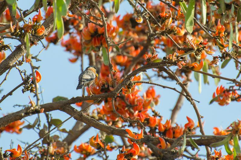 Brahminy Starling or Brahminy Myna. Sturnia pagodarum perching on the branch of Flame of the Forest Palash Tesu Butea monosperma free. Its orange red flowers royalty free stock images