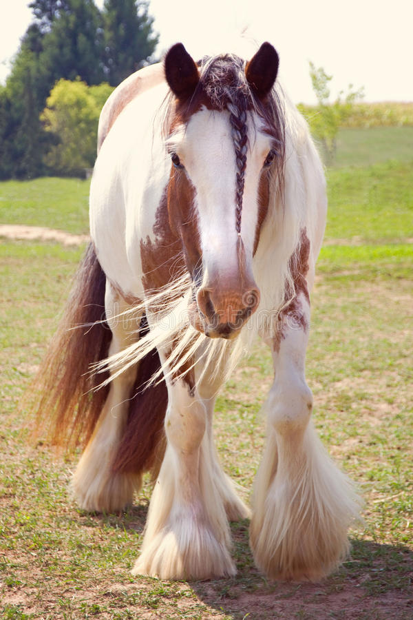 Braided Gypsy Vanner Horse stock images