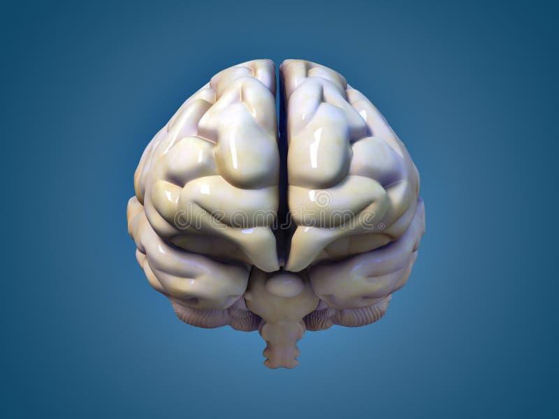 Download Brain stock illustration. Illustration of scientific - 16931760
