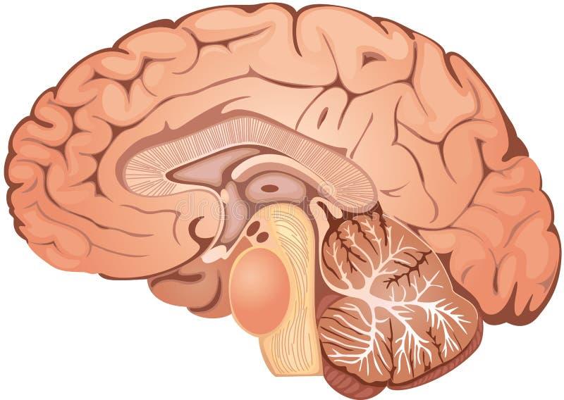 Brain. Medical illustration of a human brain cross-section vector illustration