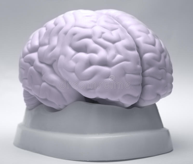 Download Brain stock photo. Image of biological, cradled, education - 22636132