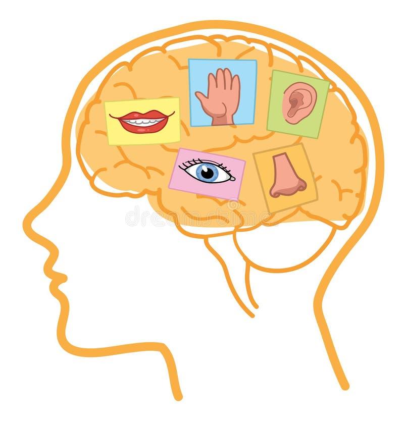 Free Brain 5 Senses Royalty Free Stock Photo - 87130605