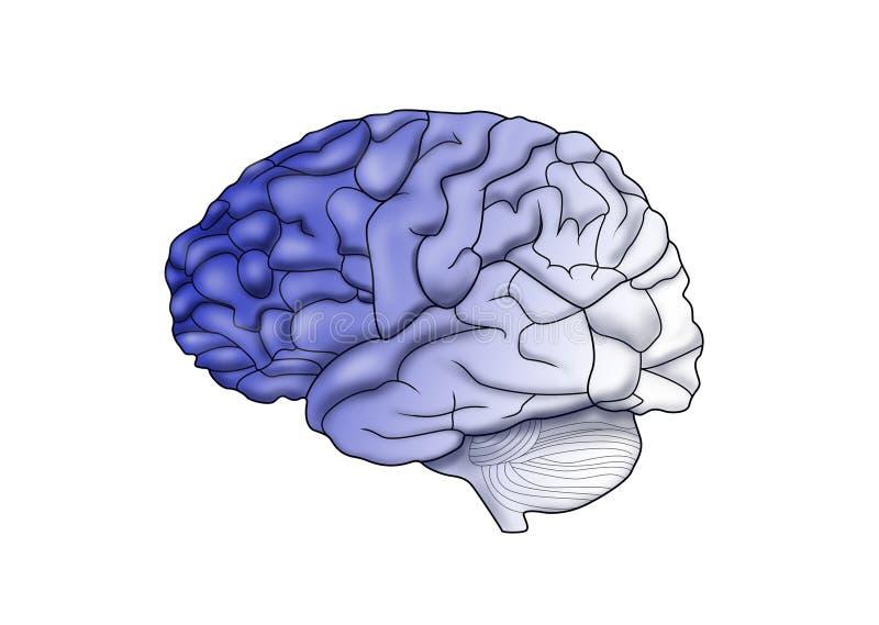 Download Brain stock illustration. Image of subconscious, anatomy - 8282613
