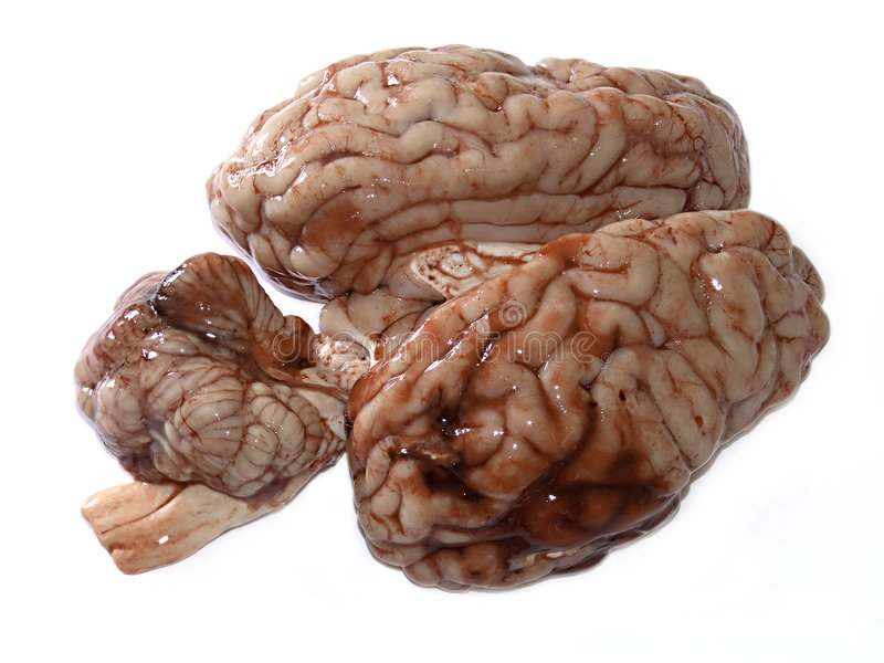 Brain. Photograph of a real brain isolated on white background stock photo